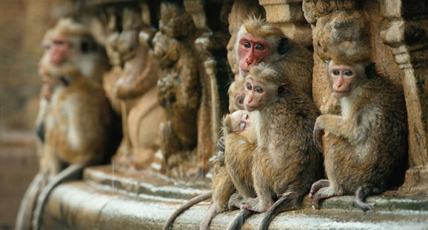 Monkey Kingdom, Disney Nature