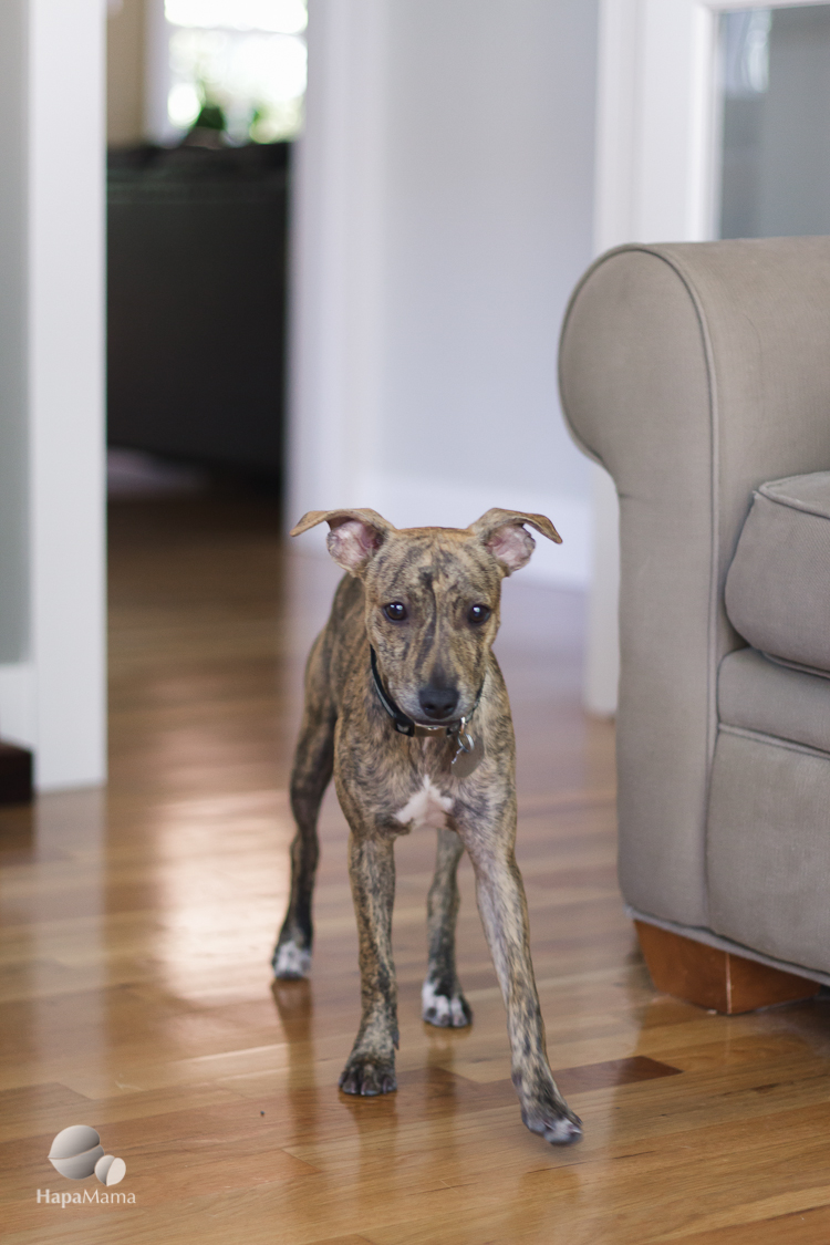Amber the Whippet mix puppy