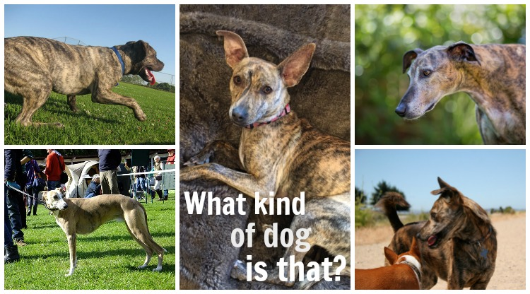 collage of brindle dogs